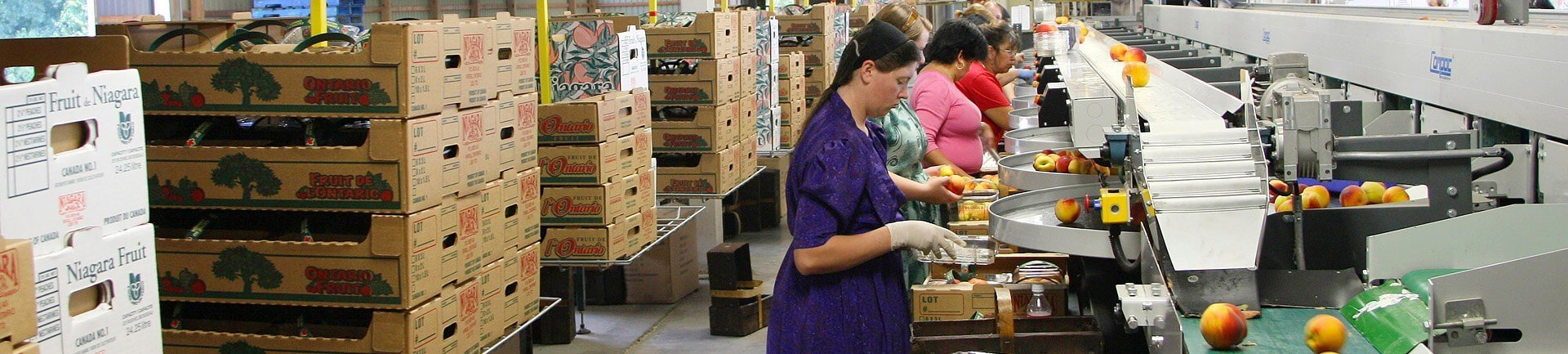 Overhead conveyor delivers empty cartons in fruit packing house.