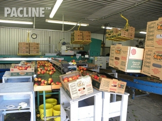 Conveyor handles boxes for fruit packing.