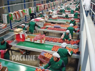 Overhead conveyor delivers cartons to fruit packers.