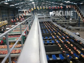 Empty carton delivery conveyor and produce sorting equipment.