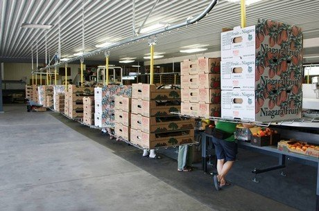 Overhead conveyor delivers boxes to peach packing operators