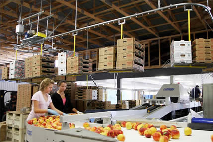 Overhead conveyor for peach packing operations